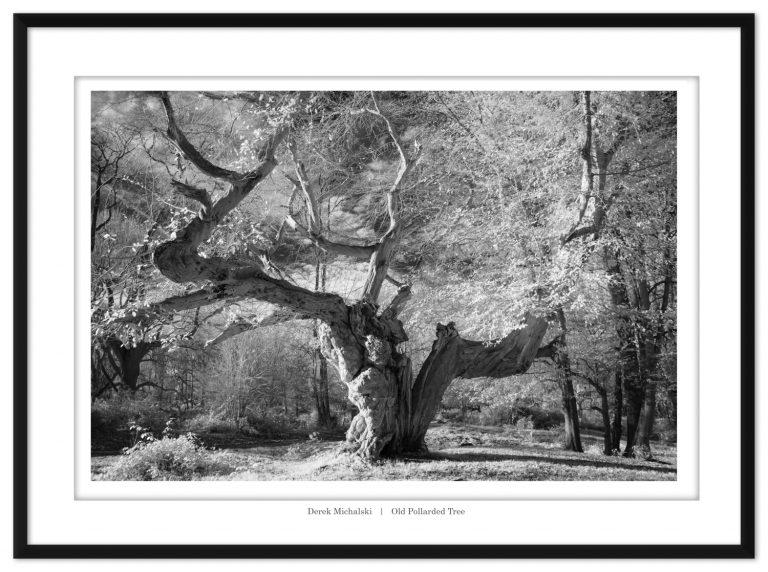 Old pollarded tree II