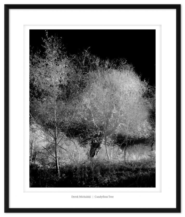 IR - Cobham Woods - 18 Nov 2020 IMG_6191 Candyfloss Tree